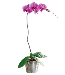 Lavender Phalaenopsis Get Well Orchid